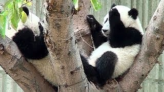 Video : China : ChengDu Pandas 成都潘达