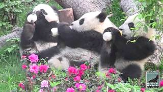 Video : China : ChengDu Pandas !