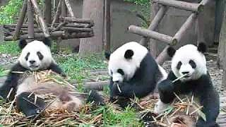 Pandas at the ChengDu 成都 Panda Research Center