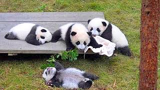 Panda Base : The Panda Research Center in ChengDu 成都