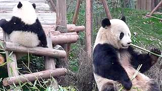 Pandas at the Research / Visitor Center in ChengDu 成都