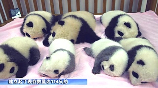 The 'Panda Base' Research, Education and Breeding Center, ChengDu 成都